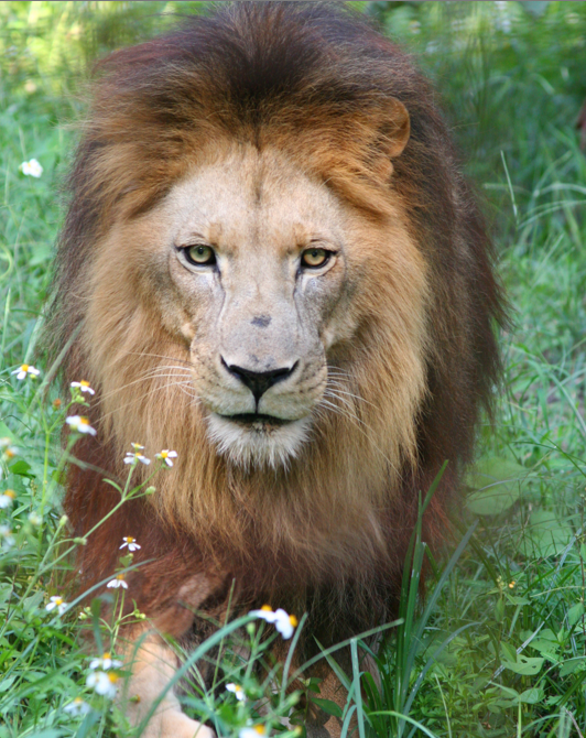 Cameron Lion in flower field at Big Cat Rescue by Jamie Veronica