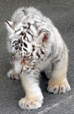 Sick White Tiger Cub 2011