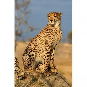 rp_cheetah-in-the-wild-350x350.jpg