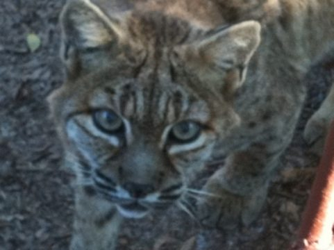 A rare glimpse at The Great Pretender a Bobcat