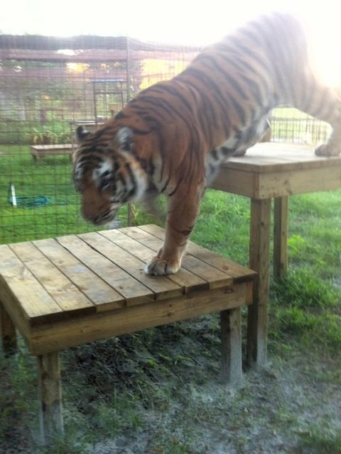 Arthur, one of the new TX tigers checks out his platforms