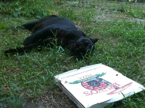 Jumanji the black leopard plays dead to sneak up on Bruno Pizza
