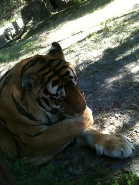 Shere Khan tiger sucking his thumb.  Breeders take cubs from their moms too soon.