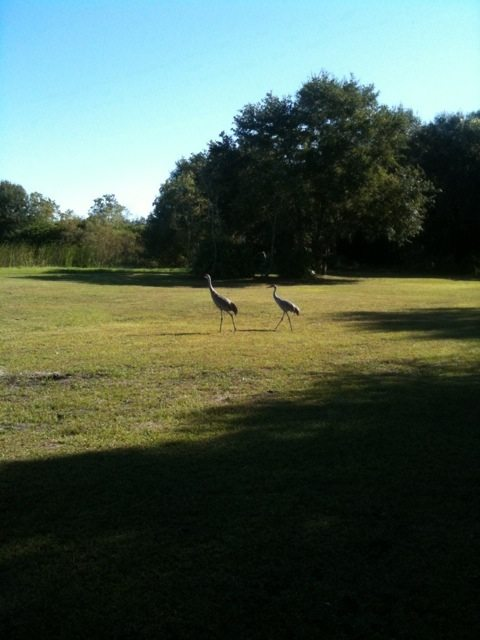 New heron couples at the Big Cat Rescue sanctuary