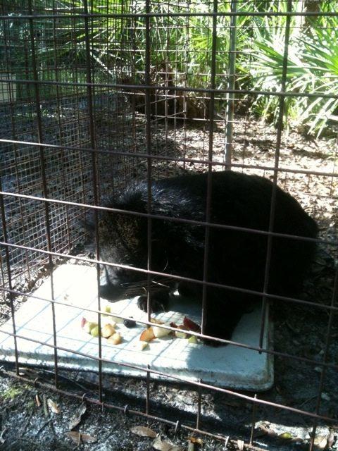 Banjo the bearcat enjoys a mid morning fruit tray