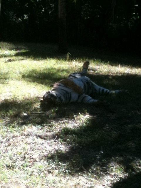 China Doll the tiger rolls in the freshly mowed lawn of her 1 ac