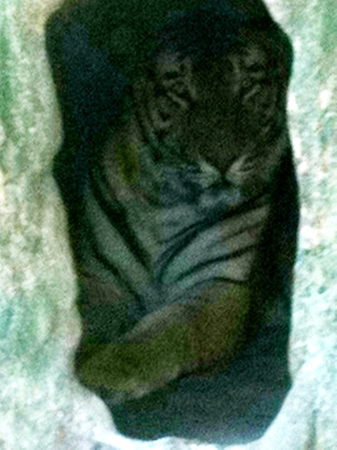Arthur the 15 year old tiger from Wild Animal Orphanage in TX