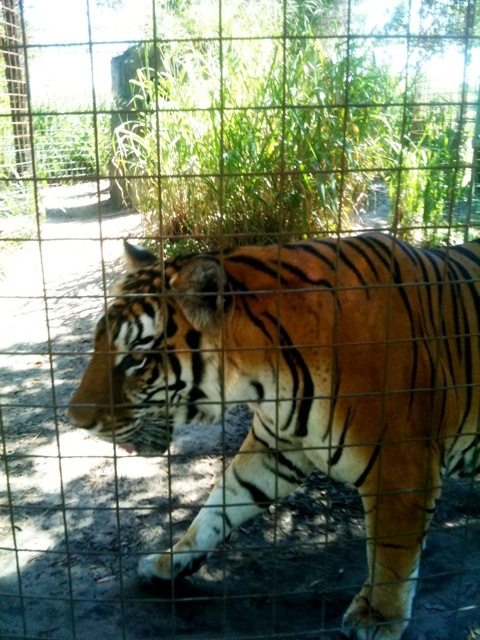 SARMOTI tiger wishes he could get a better view of the new TX tigers