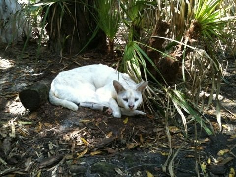 White serval watching the bobcats get all the fun new stuff and lawn care