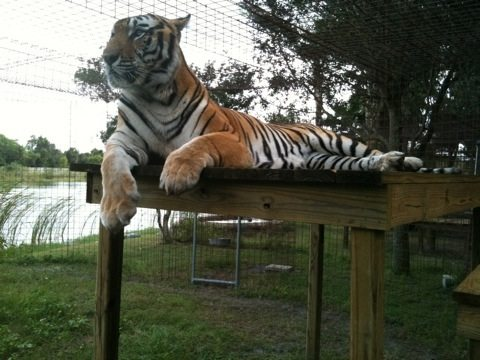 New tiger, Arthur, from TX up on one of his platforms