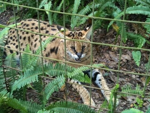 Ty serval comes over to see the tour guests who are all watching Cameron lion