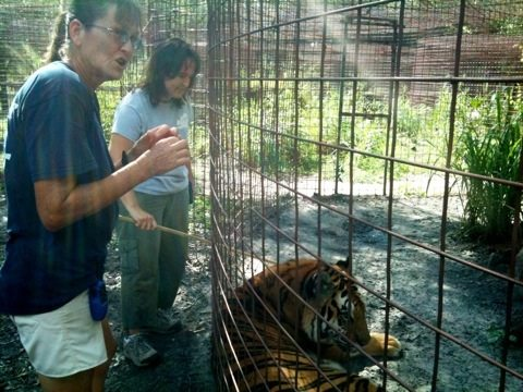 Dr. Wynn and Ops Mgr Gale take a look at Cookie tiger's sore