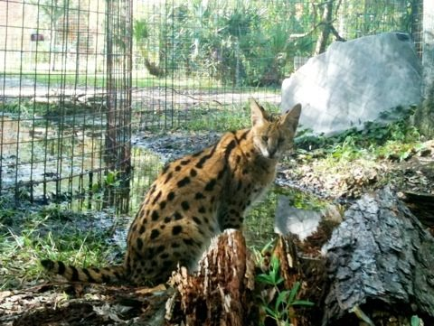 Purrsonality serval watches tour group and volunteer painting cage next door