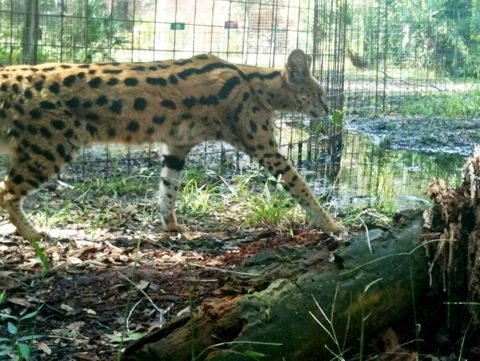 Servals look especially tall when you see them in a walking streach