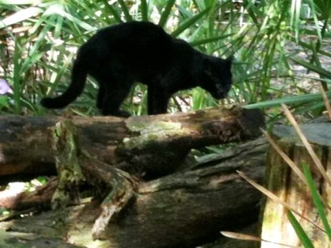Here's a hint;  she's on the log.  It is Nico the Geoffroy Cat.