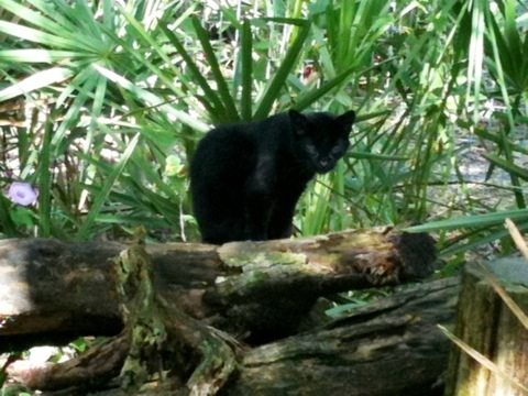 Geoffroy Cat Nico at Big Cat Rescue