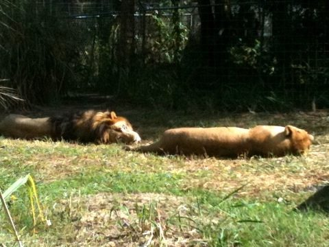 Joseph and Sasha the lions on a lazy afternoon at the sanctuary