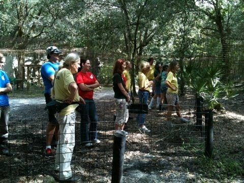 Volunteers watching Aspen Echo cougar get her pumpkin