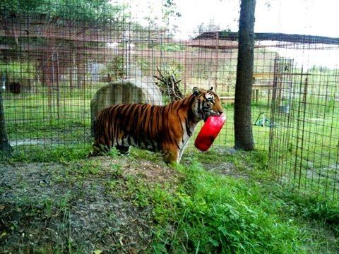 Arthur tiger really likes his new toy. We will have to monitor for safety.