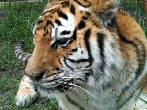 Modnic tiger is looking good after her surgery and likes new tiger Arthur next door