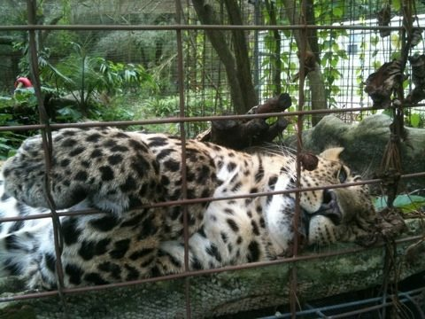 Cheetaro leopard doing his best im-purr-sonation of cuteness