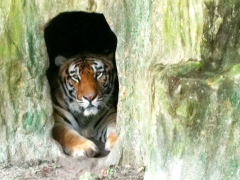 New Texas tiger peers out from his den
