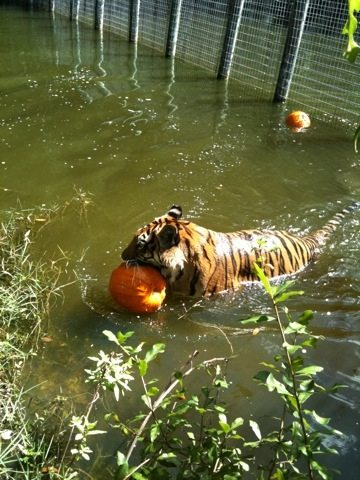 3 pumpkins, 2 tigers, a dozen volunteers and lots of laughs