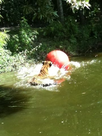 Tiger notices the ball while chasing pumpkins in the lake