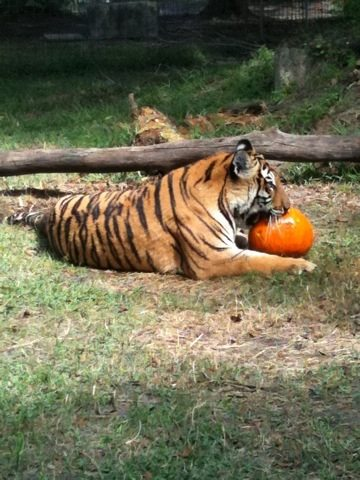 Tiger takes a minute to savor her reward for pumpkin bobbing