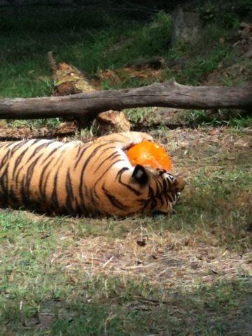 "Tiger Says ""Mine!  All mine!"""