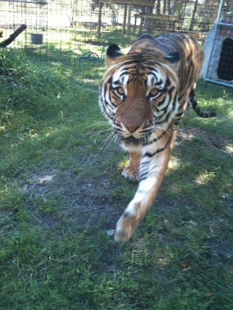 Arthur the tiger comes over to greet the camera woman