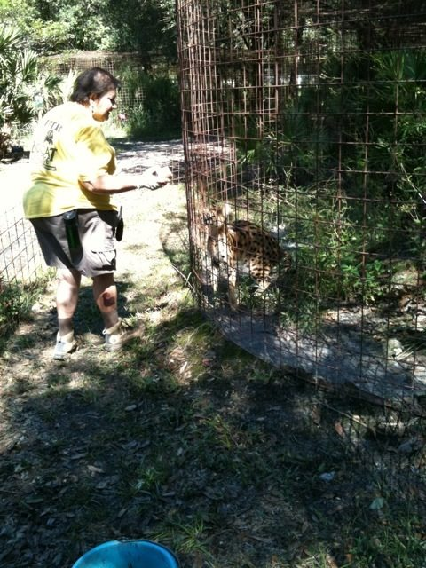 Susan Reed offeres some enrichment to a serval