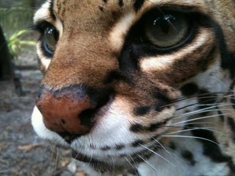 Nosey Nirvana the ocelot at Big Cat Rescue