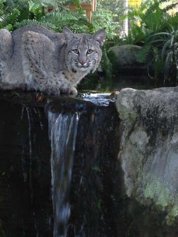 Honey uses new iPhone 4S to snap gorgeous shot of Max the bobcat