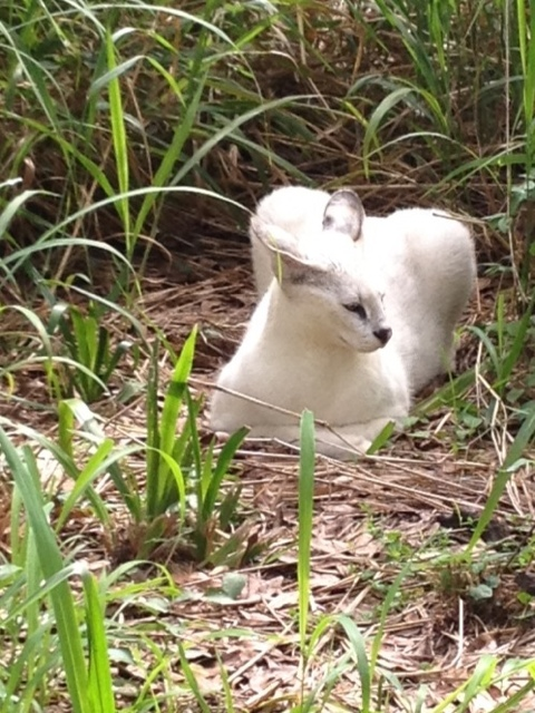 Pharaoh the White Serval Checks Out New Cat-a-tat