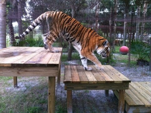 New TX Tiger checks out his platforms overlooking the lake