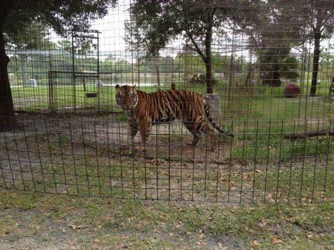 Rare glimpse of Andre the new TX tiger rescue