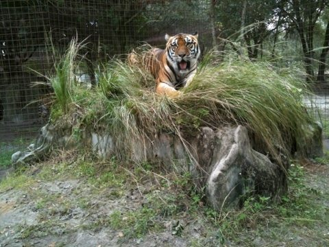 Tigers love the grassy knolls over their dens as a vantage point