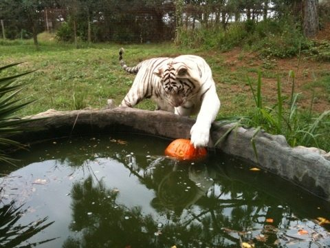Zabu the white tiger takes Cameron's pumpkin and puts in the water