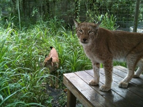 Apollo and Zeus the Siberian Lynx find themselves in high grasses