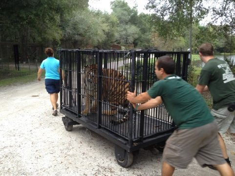 Jarred, Chris and Jamie haul Cookie the tiger to Cat Hospital