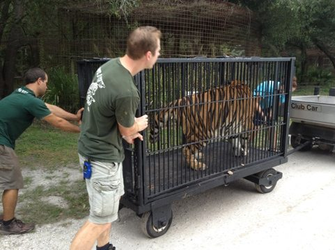 Jarred, Chris and Jamie hook Cookie the tiger up to golf cart