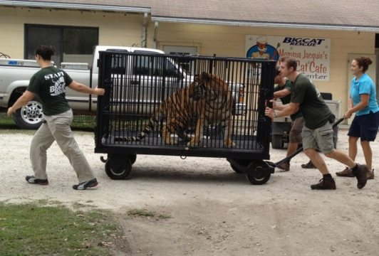Jennifer helps steer Cookie the tiger past food prep to Cat Hospital