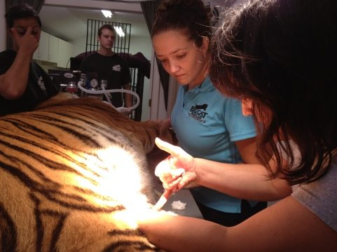 Dr. Wynn biopsies the mass on Cookie tiger's belly for lab tests