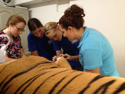 Jamie shows interns how Cookie tiger's declawed feet are growing claws
