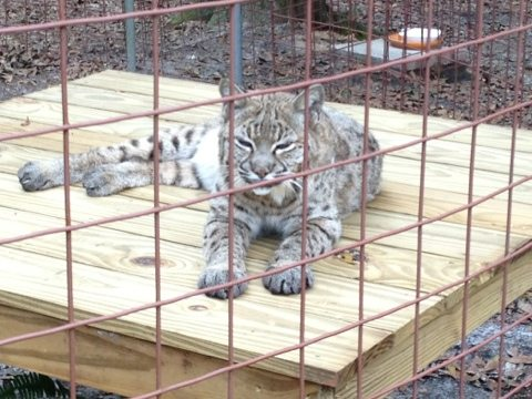 Precious the bobcat loves her new perch made by the Enrichment Committee