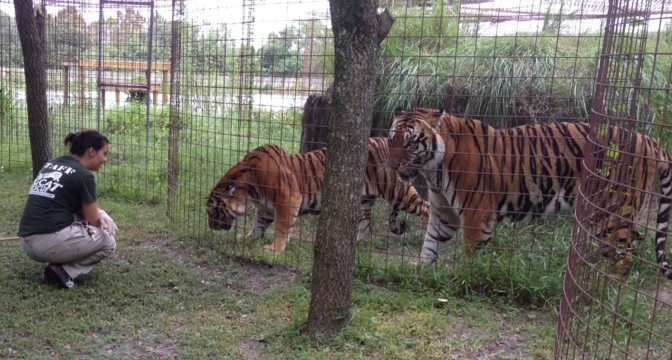 Jennifer does operant with the three new TX tigers and Amanda comes close