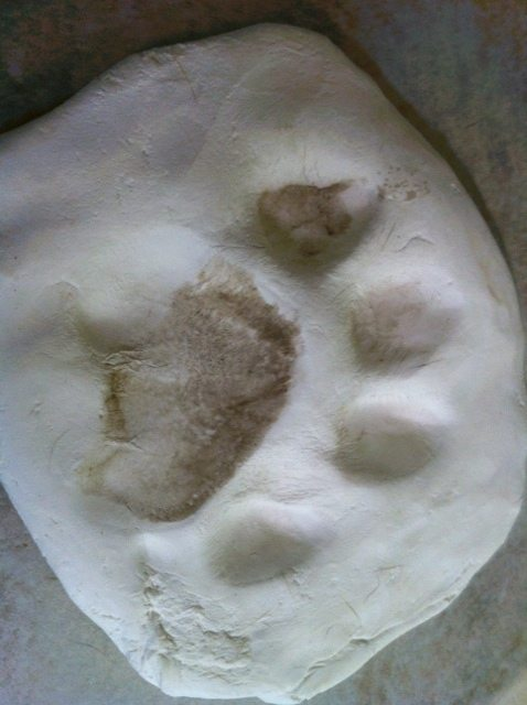 A cast is made of Cookie the tiger's paw while she is sleeping