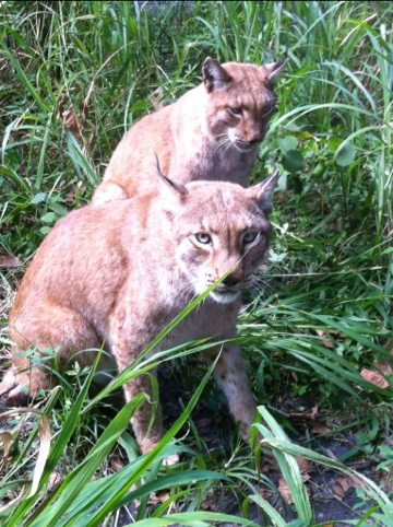 Siberian Lynx brothers in the soft grass