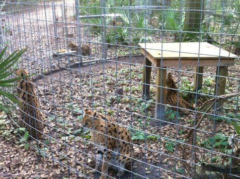 Four of the five servals in view who were rescued from a NY basement
